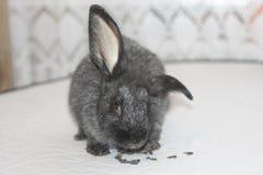 Schwarzes Kaninchen isst Samen Stockfotografie
