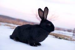 Schwarzes Kaninchen mit dem Gesicht stockbilder