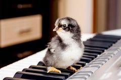 Schwarzes kleines Huhn auf den Schlüsseln des Klaviers Die ersten Schritte I lizenzfreie stockbilder