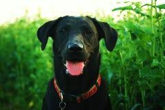 Schwarzes Labrador Stockfotos