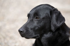 Schwarzes Labrador Lizenzfreies Stockbild