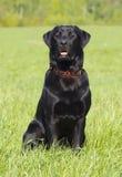 Schwarzes Labrador-Apportierhundportrait, sitzendes positio Stockfotografie