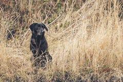 Schwarzes Labrador auf dem Gebiet Stockfotos