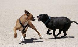 Schwarzes Labrador, das einen Boxer jagt Lizenzfreies Stockfoto
