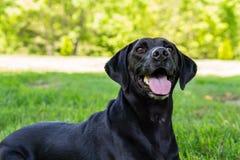 Schwarzes Labrador, das für die Kamera aufwirft Stockfotos