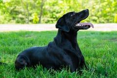 Schwarzes Labrador, das für die Kamera aufwirft Lizenzfreie Stockbilder