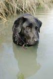 Schwarzes Labrador, das seiend im Wasser genießt stockbilder