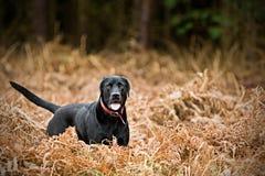 Schwarzes Labrador in der Landschaft Stockfoto