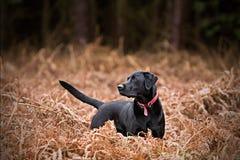 Schwarzes Labrador in der Landschaft Lizenzfreie Stockfotos