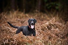 Schwarzes Labrador in der Landschaft Lizenzfreies Stockfoto