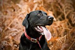 Schwarzes Labrador in der Landschaft Stockbild