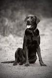 Schwarzes Labrador in der Landschaft Lizenzfreie Stockbilder
