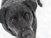Schwarzes Labrador im Schnee stockfotos