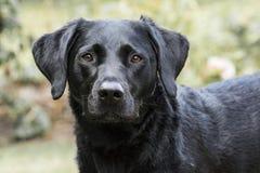 Schwarzes Labrador-Portrait Lizenzfreie Stockbilder