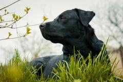 Schwarzes labrador retriever auf Gras nahm den Geruch lizenzfreie stockfotos