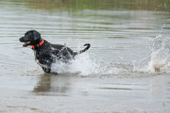 Schwarzes Labrador retriever in Bewegung Stockfotografie