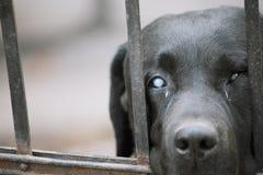 Schwarzes labrador retriever, das draußen auf Inhaber gegen den Zaun - Alternhaustier-Konzepthintergrund wartet Stockfoto