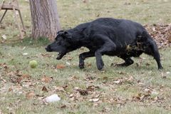Schwarzes Labrador retriever holt Ball stockfotos