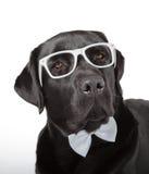 Schwarzes Labrador retriever Lizenzfreie Stockfotos