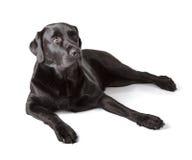 Schwarzes Labrador retriever Lizenzfreies Stockfoto