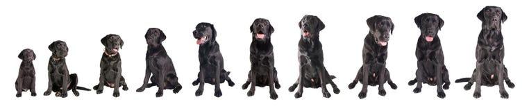 Schwarzes labrador retriever-Wachsen Stockbilder