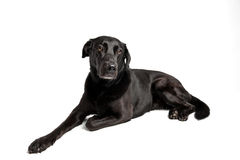 Schwarzes Labrador vor Weiß Lizenzfreies Stockfoto