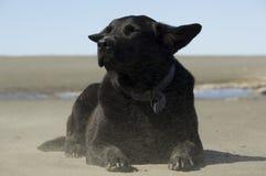 Schwarzes Labrador, welches die Brise am Strand genießt lizenzfreies stockbild