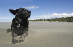 Schwarzes Labrador, welches die Brise am Strand genießt lizenzfreie stockfotos