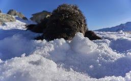 Schwarzes lagotto romagnolo, das in den Schnee legt stockbild