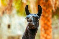 Schwarzes Lama, das Gras auf Steinhintergrund isst lizenzfreies stockbild