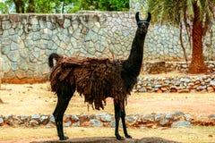 Schwarzes Lama, das Gras auf Steinhintergrund isst lizenzfreies stockfoto