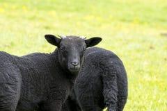 Schwarzes Lamm mit den Hörnern, die entlang der Kamera anstarren Lizenzfreies Stockfoto
