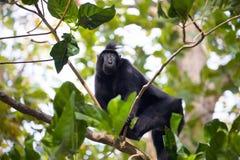 Schwarzes macacue mit Haube, Macaca Nigra, auf dem Baum, Nationalpark Tangkoko, Sulawesi, Indonesien Lizenzfreies Stockbild