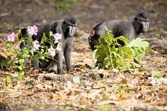 Schwarzes macacue mit Haube, Macaca Nigra, auf der Flussbank, Tan Lizenzfreies Stockfoto