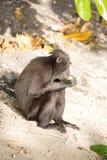 Schwarzes macacue mit Haube, Macaca Nigra, Früchte essend, Nationalpark Tangkoko, Sulawesi, Indonesien Stockfoto