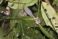 Schwarzes Makakenhanddetail mit Haube beim Halten eines Baumasts Stockbild