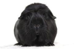 Schwarzes Meerschweinchen Lizenzfreie Stockbilder