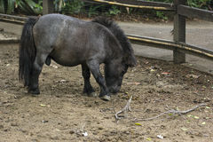 Schwarzes Miniaturpferd Lizenzfreies Stockfoto