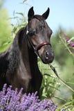 Schwarzes Miniaturpferd hinter purpurroten Blumen Lizenzfreie Stockfotos