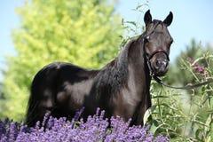 Schwarzes Miniaturpferd hinter purpurroten Blumen Lizenzfreies Stockfoto