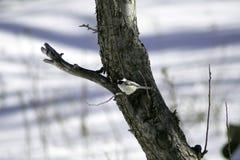 Schwarzes mit einer Kappe bedeckter Chickadee auf Apfelbaum stockbild