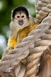 Schwarzes mit einer Kappe bedeckter Eichhörnchen-Fallhammer in der Gefangenschaft Lizenzfreie Stockfotos
