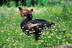 Schwarzes Moskau-Entenporträt Moschusartige Ente auf dem Gebiet von Gänseblümchen Lizenzfreies Stockfoto