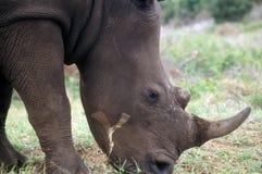 Schwarzes Nashorn Lizenzfreie Stockfotos