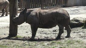 Schwarzes Nashorn stock footage