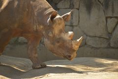 Schwarzes Nashorn Lizenzfreie Stockbilder