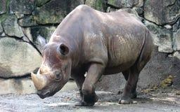 Schwarzes Nashorn lizenzfreies stockbild
