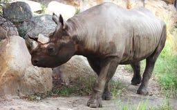Schwarzes Nashorn lizenzfreie stockfotografie