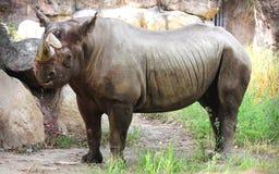 Schwarzes Nashorn stockfotografie