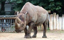 Schwarzes Nashorn stockfoto